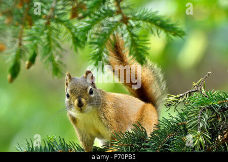 A close up image of a red squirrel 'Tamiasciurus hudsonicus'; on a branch in his spruce tree looking forward - Stock Photo