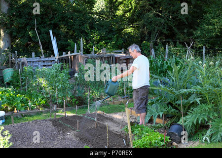 A man watering his garden with a small watering can in his veg plot in the 2018 summer heatwave in Carmarthenshire rural West Wales UK  KATHY DEWITT - Stock Photo