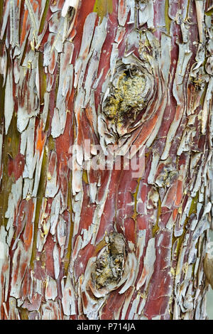 colorful piled bark on a old tree, green yellow , red texture - Stock Photo
