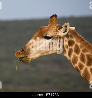 Head shot of a giraffe side on eating a plant or leaves in the wild of South Africa - Stock Photo