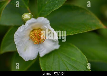 Stewartia pseudocamellia blossom Korean stewartia white flower close up,Japanese stewartia, deciduous camellia white flower close up - Stock Photo