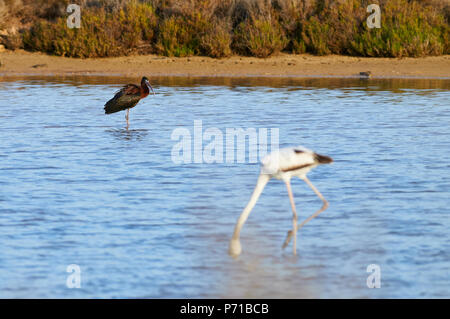 Greater flamingo (Phoenicopterus roseus) feeding in salt marsh and glossy ibis (Plegadis falcinellus) in the far (Formentera,Balearic Islands,Spain) - Stock Photo