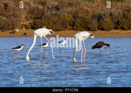 Greater flamingo (Phoenicopterus roseus) feeding in salt marsh with wading birds in the far (Ses Salines Natural Park,Formentera,Balearic Islands) - Stock Photo