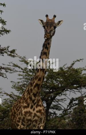 The Maasai giraffe (Giraffa camelopardalis tippelskirchii), also called Kilimanjaro giraffe. Picture taken in the valley at Mahali Mzuri, Maasai Mara. - Stock Photo