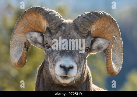 Rocky Mountain Bighorn Ram (Ovis canadensis) close up portrait, Jasper National Park, UNESCO World Heritage Site, Alberta, Canada, North America - Stock Photo