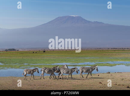 Zebras under Mount Kilimanjaro in Amboseli National Park, Kenya, East Africa, Africa - Stock Photo