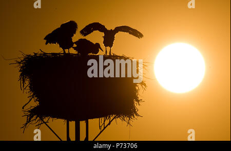 Laatzen, Deutschland. 06th June, 2018. 06.06.2018, Lower Saxony, Laatzen: A full-grown white stork (Ciconia ciconia) and young stork dwell at sunset on a nest in the Leinemasch south of Hanover. In the stork's nest, a pair of storks draws five young storks at once. Each young stork needs over one kilo of food per day, which must be hunted by the parents. Credit: Julian Stratenschulte/dpa | usage worldwide/dpa/Alamy Live News - Stock Photo