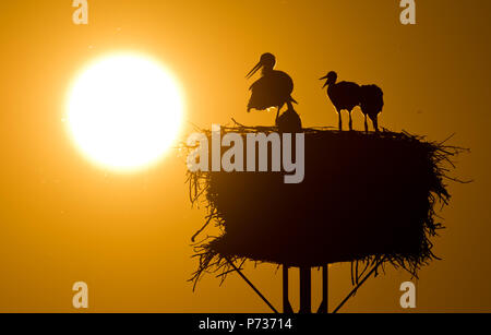 Laatzen, Deutschland. 06th June, 2018. dpatopbilder - 06.06.2018, Lower Saxony, Laatzen: A full-grown white stork (Ciconia ciconia) and young stork dwell at sunset on a nest in the Leinemasch south of Hannover. In the stork's nest, a pair of storks draws five young storks at once. Each young stork needs over one kilo of food per day, which must be hunted by the parents. Credit: Julian Stratenschulte/dpa | usage worldwide/dpa/Alamy Live News - Stock Photo