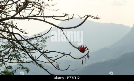Silhouette of Butea Monosperma tree with orange flower (flame of the forest) against layered mountain range of western ghats, Kerala, India - Stock Photo