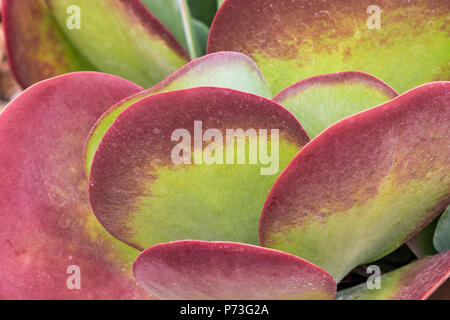 Red and Green Succulent - Paddle Plant, Red Pancakes, Flapjack, Desert Cabbage - Kalanchoe luciae - Stock Photo