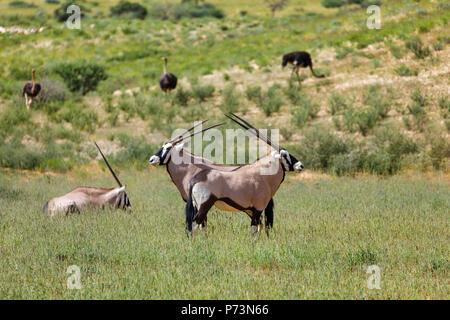 Gemsbok, Oryx gazella in Kalahari, in background ostrich. Green desert after rain season. Kgalagadi Transfrontier Park, South Africa wildlife safari - Stock Photo