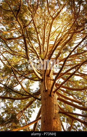 View of the crown and trunk of a giant sequoia (Sequoiadendron giganteum ) close-up - Stock Photo
