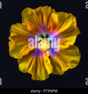 Fine art still life floral color macro flower portrait of a single isolated blooming yellow pink blue wide open hibiscus blossom on black background - Stock Photo