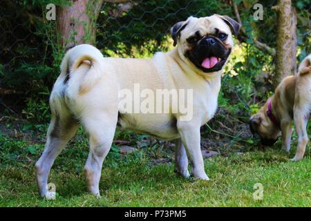 One year old male Pug dog in garden - Stock Photo