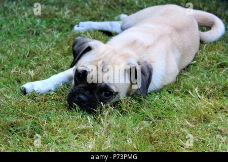 A three month old female Chug (Chihuahua cross Pug) puppy in a garden - Stock Photo
