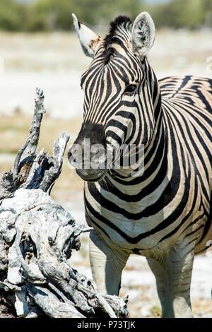 Burchell's Zebra finding titbits around dead tree stump in Etosha - Equus quagga burchellii - Stock Photo