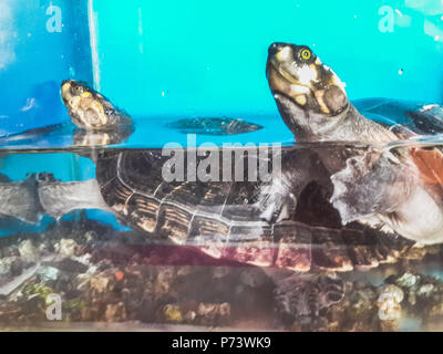 Two turtles swimming in aquarium one over another - Stock Photo