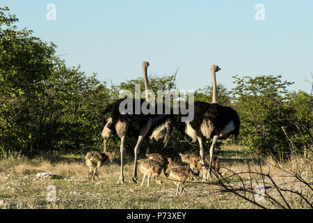 Two Male Ostriches - Struthio camelus - with chicks in the Etosha bush, Namibia. - Stock Photo