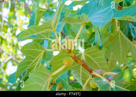 Figs ripening on a branch in a shady corner of a garden.Fig tree. Ripe fig fruits on tree branch.Green figs in a sunny day.Growing fig fruit - Stock Photo