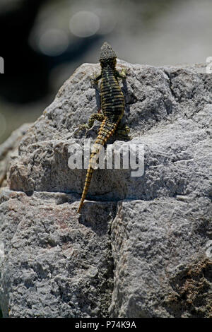 A southern rock agama (Agama atra) in the Stony Point Nature Reserve in Betty's Bay in the Overberg, South Africa. - Stock Photo