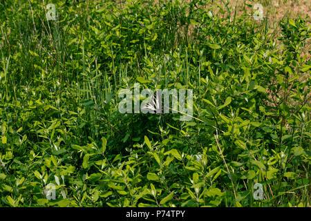 yellow swallowtail butterfly on shrub - Stock Photo