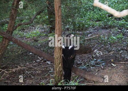 Wedge-Tailed Eagle (Aquila Audax) - Stock Photo