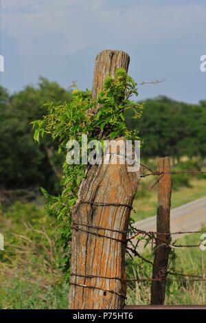 Kansas Wild Grapes on a Fence post shot closeup with blue sky and a gate with barb wire. That's shot vertical. West of Hutchinson Kansas. - Stock Photo