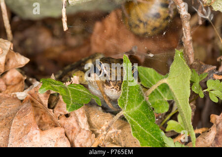 A common frog, Rana temporaria, photographed in a rockery at night next to a garden pond. Lancashire England UK GB - Stock Photo