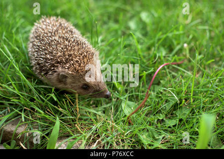 Small hedgehog in a garden - close up - Stock Photo