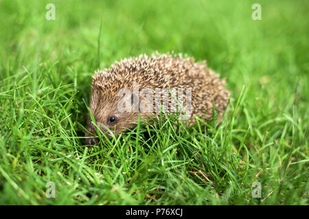 Small hedgehog in a green grass - profile close up - Stock Photo
