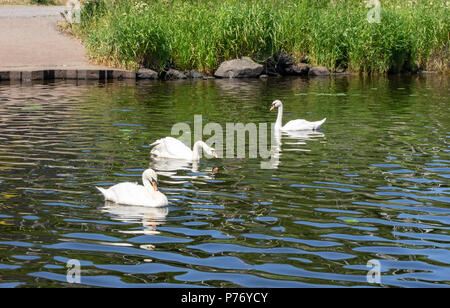Three white swans grazing at the side of the loch on a hot sunny day in Lochwinnoch Scotland - Stock Photo