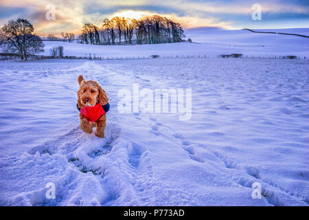 Cute dog wearing red coat walking through a snowy field - Stock Photo