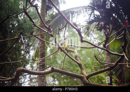 Yellow-bellied Tyrannulet flycatcher bird with black beak and yellow feathers sits on a tree branch in the forest of Costa Rica - Stock Photo