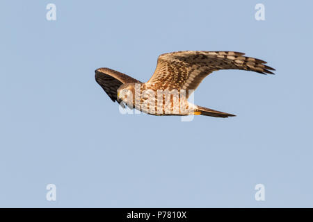 A northern harrier in flight. - Stock Photo