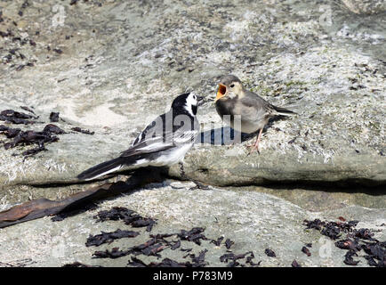 An adult pied wagtail (Motacilla alba yarrellii) feeds a demanding juvenile with invertebrates collected on the seaside rocks at Ballycastle. Ballycas - Stock Photo