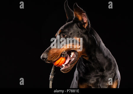Portrait of doberman pinscher with a toy ball on black background - Stock Photo