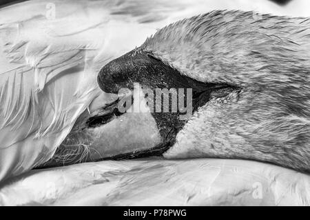 A sleeping Mute Swan (Cygnus Olor) with it's head tucked under it's wing. Monochrome version. - Stock Photo