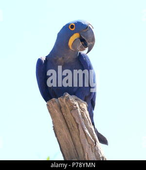 South American Hyacinth Macaw (Anodorhynchus hyacinthinus). in closeup. - Stock Photo