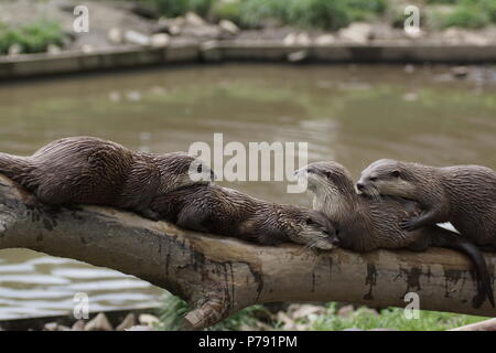 Aonyx cinerea - Stock Photo