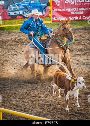 A cowboy ropes a calf during the tie down roping competition at the Airdrie Pro Rodeo. - Stock Photo
