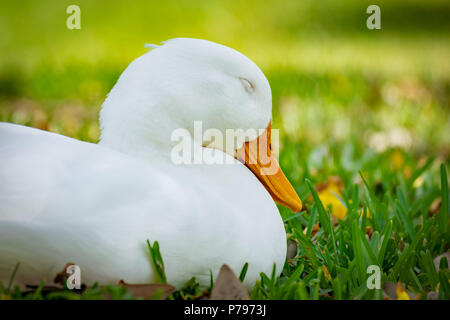 Close up portrait on a pekin duck sitting in grass with eyes closed on a sunny day in Florida. - Stock Photo