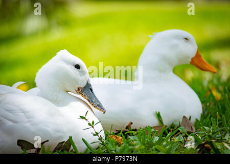 Close up portrait on two pekin ducks side by side sitting in grass, one with gray beak the other with orange beak. - Stock Photo
