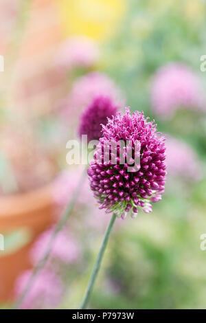 Allium sphaerocephalon flowers. - Stock Photo