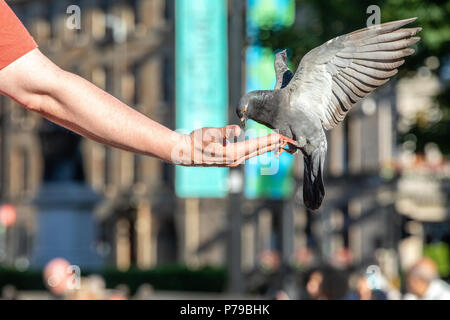 Pigeons feeding from the hand in George Square, Glasgow - Stock Photo