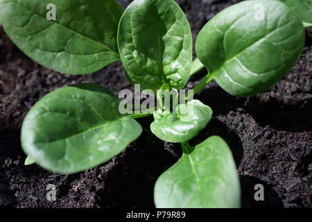 Closeup of a young organic spinach plant growing in natural soil - Stock Photo