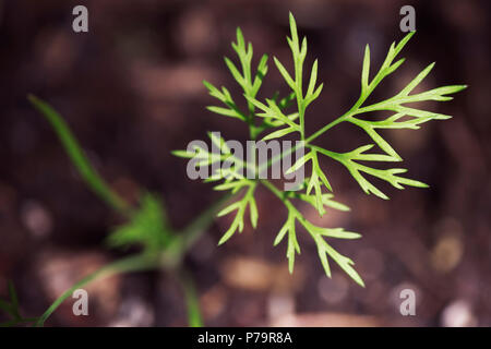 Closeup of a young dill herb seedling sprouting from the soil - Stock Photo