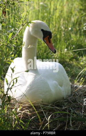 Mute swan (Cygnus olor) breeding on the nest, Allgäu, Bavaria, Germany - Stock Photo