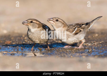 House sparrows (Passer domesticus), female, drinking, Sartene, Corsica, France - Stock Photo