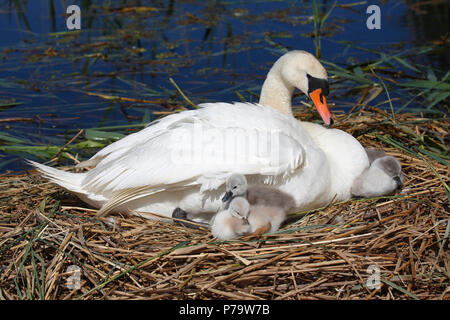 Mute swan (Cygnus olor) with chicks on nest, Schleswig-Holstein, Germany - Stock Photo