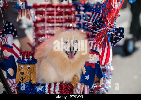 Happy Pomeranian dog very comfortable in float decorated with red, white, and blue for July 4th. - Stock Photo